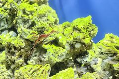 Sea Dragon fish closeup in the aquarium background.  royalty free stock photography