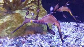 Sea Dragon. Up close shot of the amazing sea dragon royalty free stock photo
