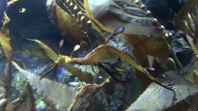 Sea Dragons Swimming Royalty Free Stock Images