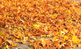 Sea of dry fall leaves Royalty Free Stock Images