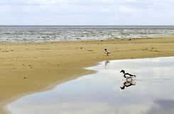 Sea duck. Duck are going to the sea from puddle on the beach Stock Image