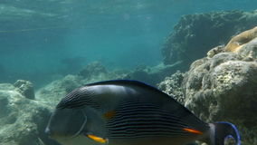 Sea dweller, sohal surgeonfish in coral reef. Slow motion close-up shot of a sohal surgeonfish swimming underwater. Large representative of species dwelling in stock video