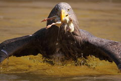 Sea eagle. The sea eagle taking off the water with prey in its bill Royalty Free Stock Images