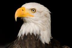 Sea eagle #2 Stock Photos