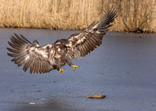 Sea-eagle 2. This is the sea-eagle with the fish from private reeding Stock Images