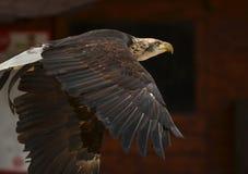 Sea Eagle Royalty Free Stock Photography