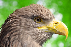 Sea eagle. On green natural background Stock Photography