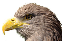 Sea eagle. Isolated on white background Royalty Free Stock Photography