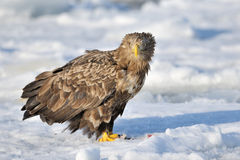 Sea-Eagle. White-Tailed Sea Eagle standing on ice Royalty Free Stock Images