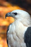 Sea-eagle. Full face shot of a sea-eagle in australia stock image