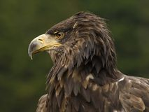 Sea eagle Royalty Free Stock Photos