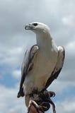 Sea eagle Royalty Free Stock Image