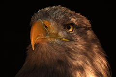 Sea eagle Stock Photography