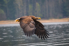 Sea eagle bird Stock Photo