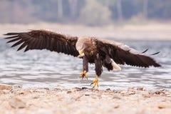 Sea eagle bird Royalty Free Stock Photos
