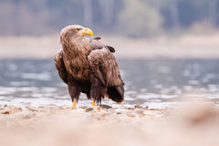 Sea eagle bird Stock Photography