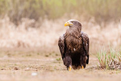 Sea eagle bird Royalty Free Stock Photo