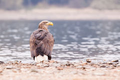Sea eagle bird Royalty Free Stock Photos