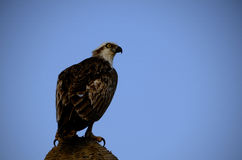 Sea eagle with blue sky Stock Photography