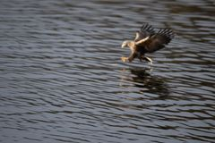 Sea eagle catching a fish royalty free stock images