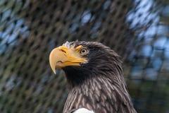 Sea Eagle Stock Image
