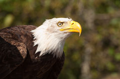 Sea Eagle Royalty Free Stock Photo