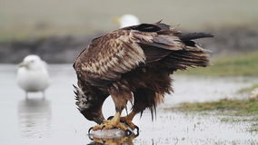 Sea eagle eating fish. Sea eagle in the Hungarian steppe stock video