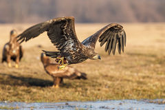 Sea eagle escaping with food Royalty Free Stock Photography