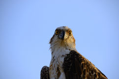 Sea eagle eyes Royalty Free Stock Photo