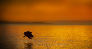Sea Eagle fishing at sunset Stock Image