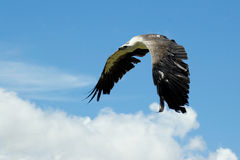 Sea eagle in flight. A big sea eagle in flight in front of blue sky background Royalty Free Stock Photos