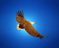 Sea Eagle in Flight Stock Photography