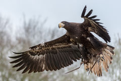 Sea eagle flying Royalty Free Stock Photos