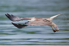 Sea eagle flying full speed Royalty Free Stock Image