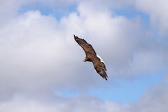 Sea eagle flying Stock Image