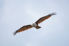 A sea eagle  flying in the sky Stock Image