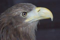 Sea Eagle / haliaeetus albicilla. Close Up Profile Of A Sea Eagle Royalty Free Stock Image