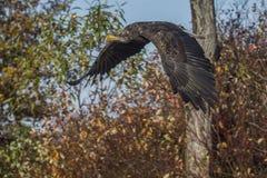 Sea eagle (Haliaeetus albicilla) Royalty Free Stock Image