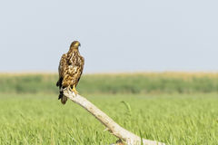 Sea eagle. (Haliaeetus albicilla) sitting on a trunk looking for prey Stock Images