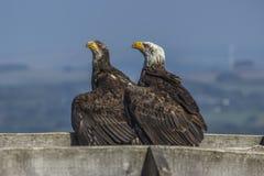 Sea eagle (Haliaeetus albicilla) Stock Photography