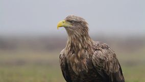 Sea Eagle Royalty Free Stock Images