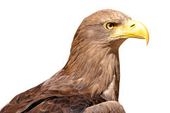 Sea eagle Royalty Free Stock Image