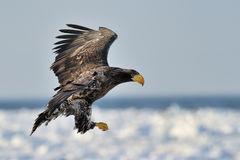 Sea Eagle Royalty Free Stock Photography