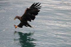 Lofoten`s eagle almost landing on a cod in turquoise waters royalty free stock photo