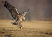 Sea eagle landing. White-tailed sea eagle coming in to land Stock Photography