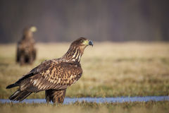 Sea eagle looking right Stock Photography
