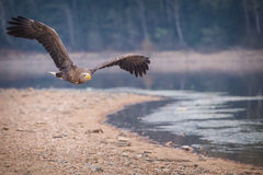 Sea ​​eagle Stock Photo