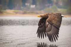 Sea ​​eagle Royalty Free Stock Photos