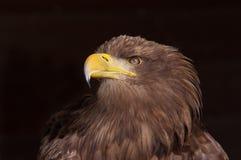 Sea Eagle portrait Stock Photo