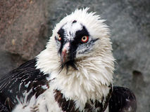 Sea eagle portrait Royalty Free Stock Photos